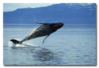 То, что устроил этот молодой кит своим спасителям, они не забудут до конца своей жизни!