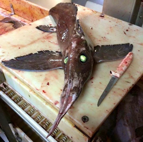 Рыбаки поймали в сети довольно редкую рыбу – носатую химеру