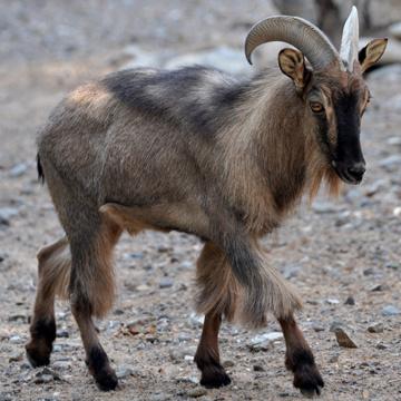 Животные от А до Я. Горные козлы (3)