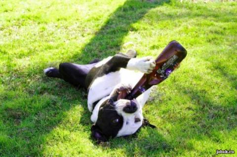 Некоторые считают веселым напоить питомца. Что при этом происходит?