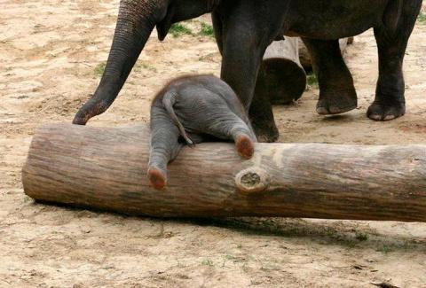 30 маленьких слонят, что жит…