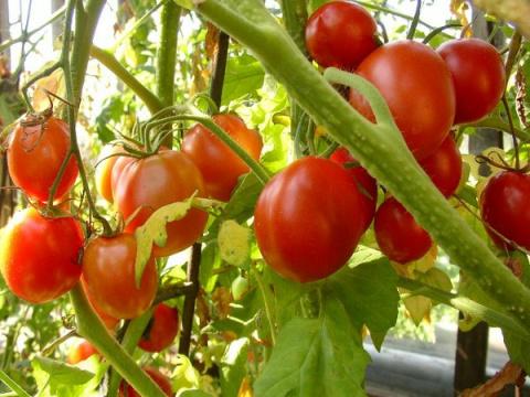 Высаживаем рассаду в теплицу - все ли тонкости вам известны?