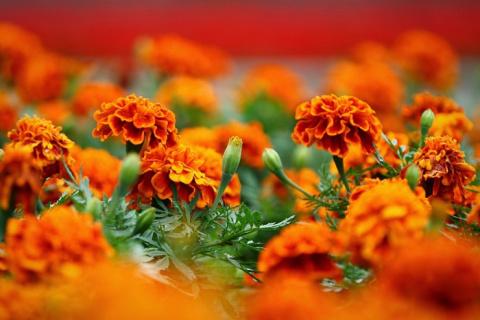 Солнечные цветы - Бархатцы