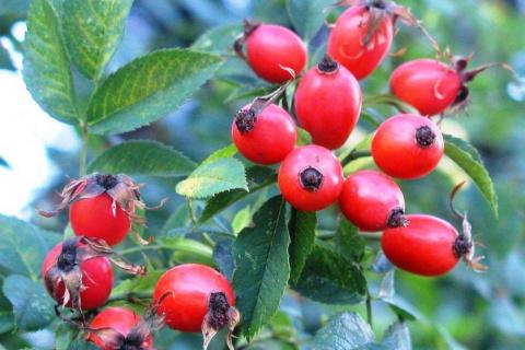 Растения – источники витаминов и высокой работоспособности