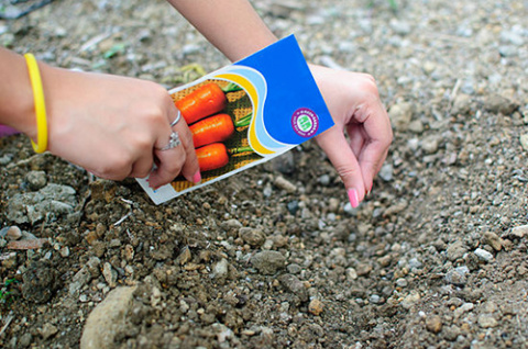 Посадка моркови осенью: пошаговая инструкция
