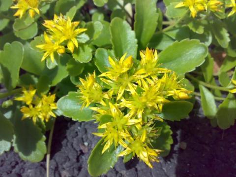 Золотой корень – растение-легенда