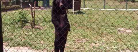 Гималайский медведь ходит по вольеру как человек, Причиной этому стали ужасные обстоятельства!