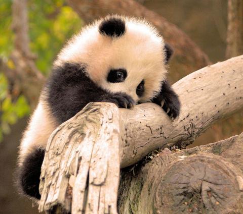 Панда-релакс