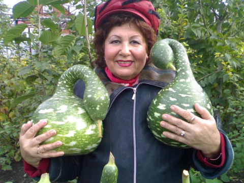 А на заборе висят... гуси в яблоках!