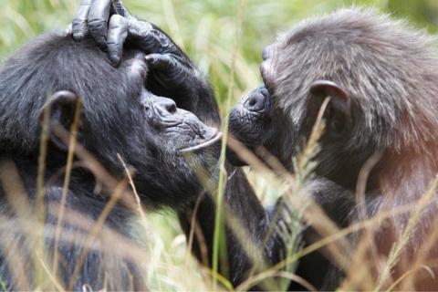 Шимпанзе способны накапливат…