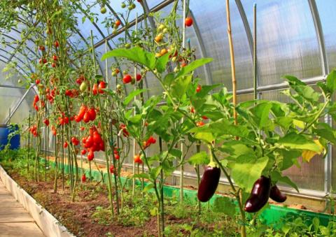 Важные правила выращивания в теплице
