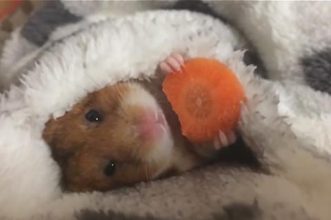 Хомяк ест морковку, и на это…