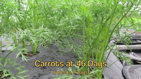 Сажаем морковь по-американски.