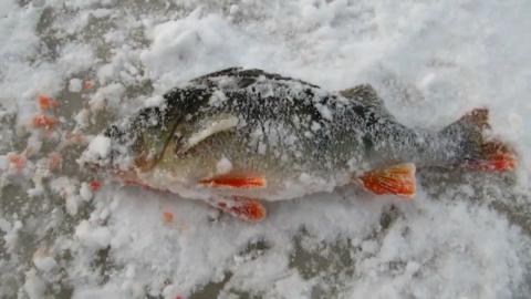 Хороший горбач попался на жерлицу по первому льду!
