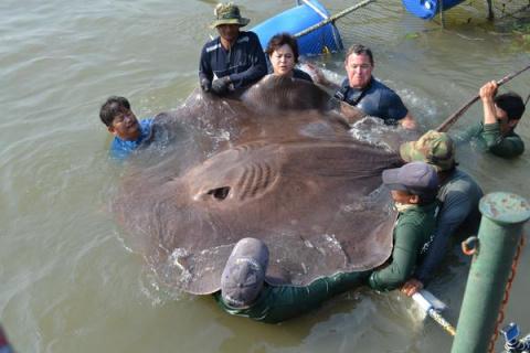 CNN: рыбаки в Таиланде поймали самую крупную речную рыбу в мире