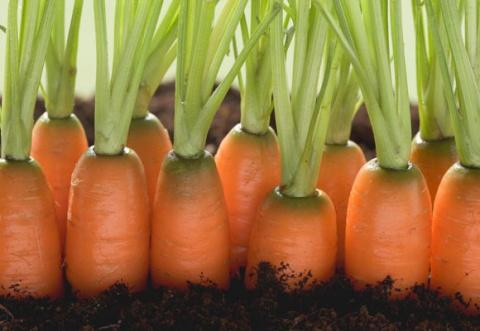 Хитрости посева моркови