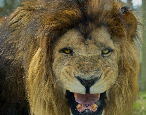 Три льва спасли девочку от п…
