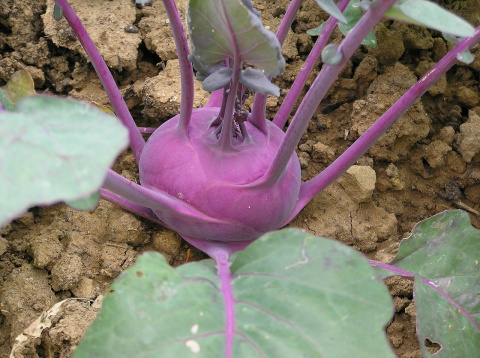 Выращивание фиолетовой кольраби