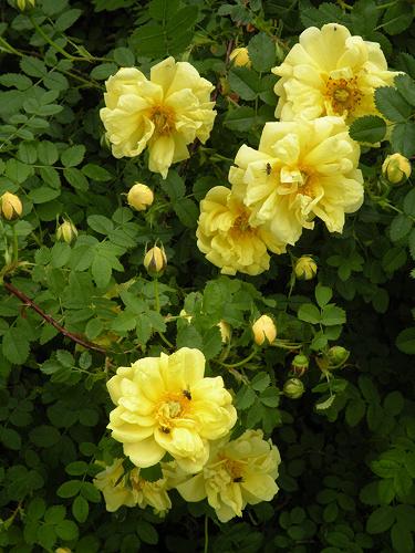 Неукрывные розы. Часть 3.