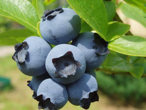 Садовая голубика: от посадки до урожая