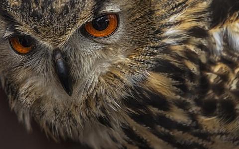 Супер совы — они прекрасны. Их полет бесшумен, а слух и когти остры!