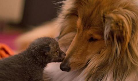 Новая мама для осиротевшего лисенка
