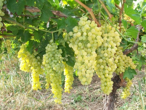 Выращивание винограда в средней полосе России