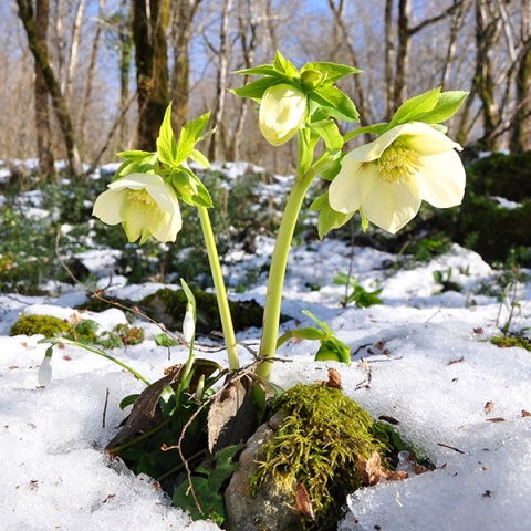 Морозник: фарфоровые цветы зимы
