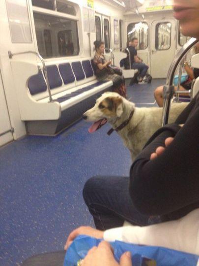 В Петербурге собака ездит на…