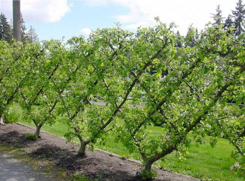 Живая шпалерная изгородь из плодовых деревьев