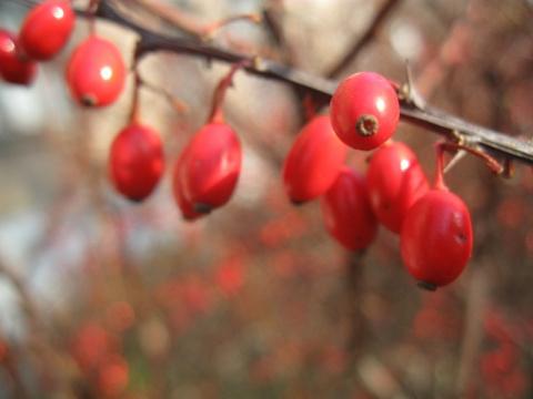Барбарис: ягода от 1000 болезней