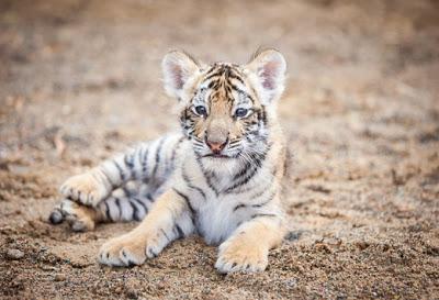 У брошенного мамой тигренка …