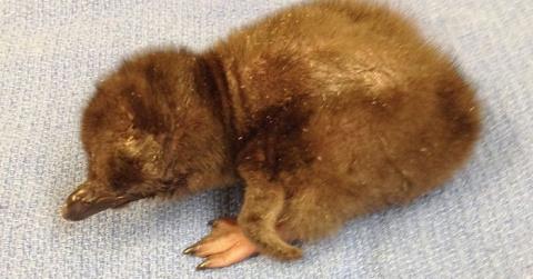 """В американском зоопарке новорожденного пингвина назвали """"Боуи"""""""
