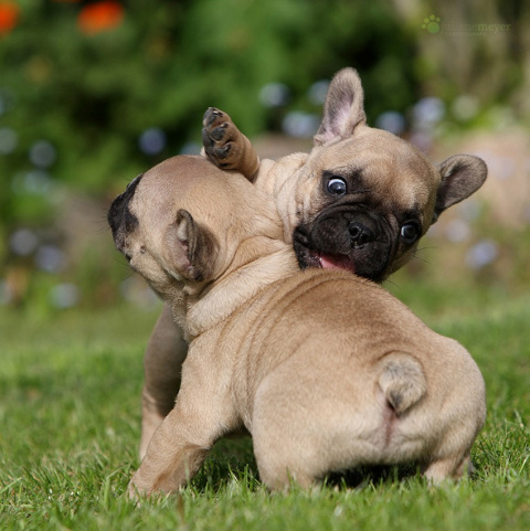 Милые щенки фотографа Juliane Meyer