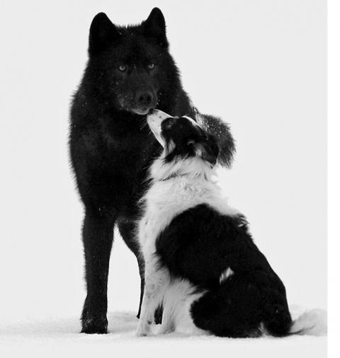 Он смотрел,как дикий волк по…
