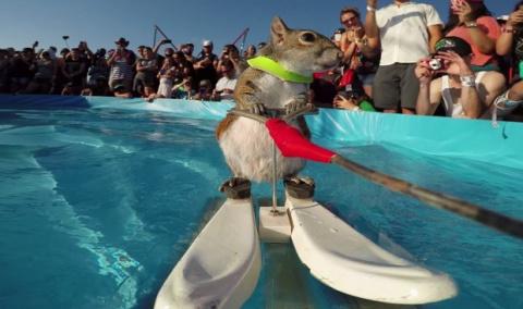 Белка катается на водных лыжах