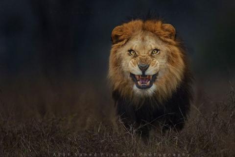 Агрессия льва в фотографии Atif Saeed