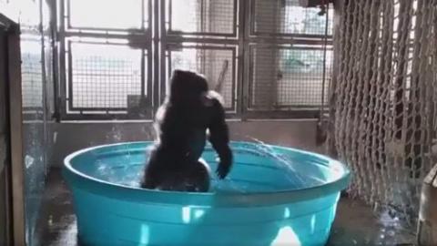 Горилла, принимающая ванну, …