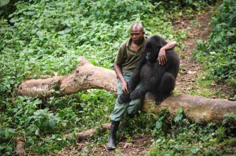 Мужчина обнимает гориллу после того, как его мать убили браконьеры