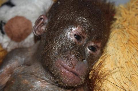 Еле живой орангутан жил в картонной коробке, но его удалось спасти!