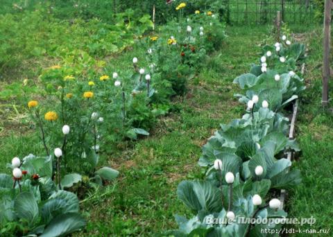 Способы борьбы с вредителями на капусте