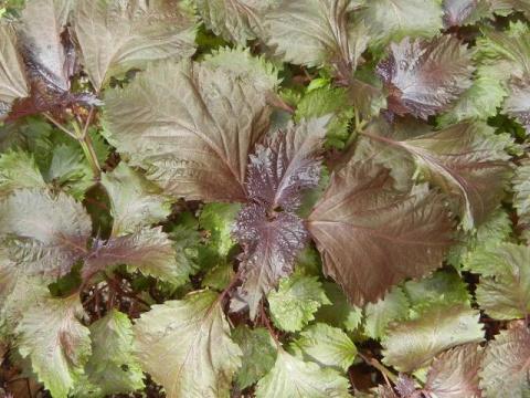 Перилла: пряность со вкусом карамели и ароматом аниса