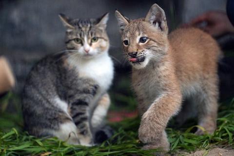 Кошка-героиня выкормила рысь