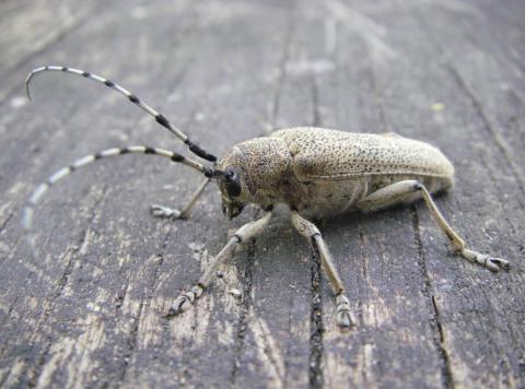Семейка «домовых». Как бороться с жуками-древоточцами