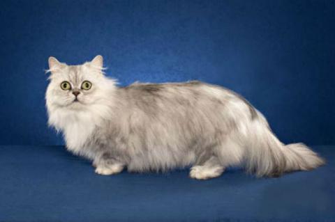 КОШКИН ДОМ. Самые маленькие породы кошек