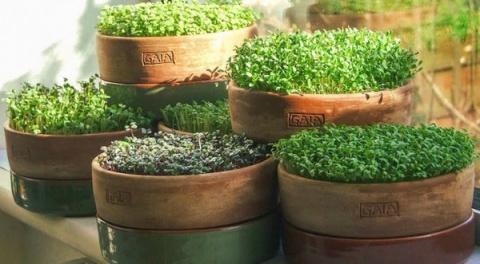 Микрозелень – полезная и легковыращиваемая пища
