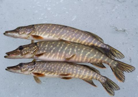 Щука - рыба стайная