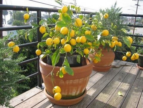 Как вырастить лимон в домашн…