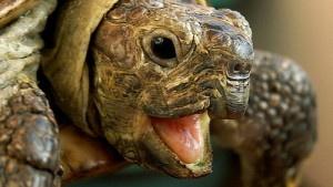 Травмированная черепаха прим…