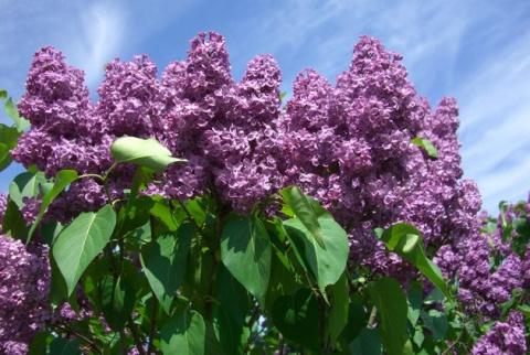 7 самых ароматных садовых ку…